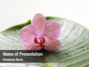 Wet pink orchid leaf