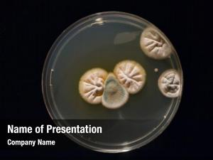 Growing petri dish cultures microorganisms,
