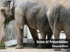 (elephas indian elephants maximus indicus)