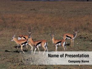Meadow impala herd
