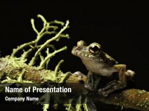 Tree osteocephalus leprieurii frog amphibians