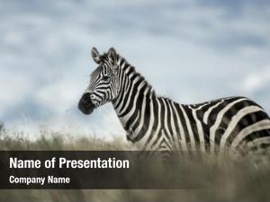 Savannah, zebra wild serengeti, africa